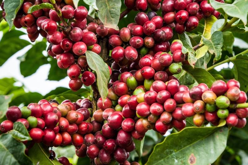케냐 국기 커피콩 색에 대한 이미지 검색결과